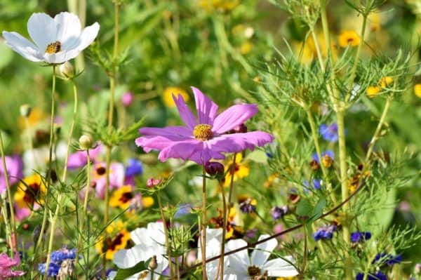Blumenwiese säen 1