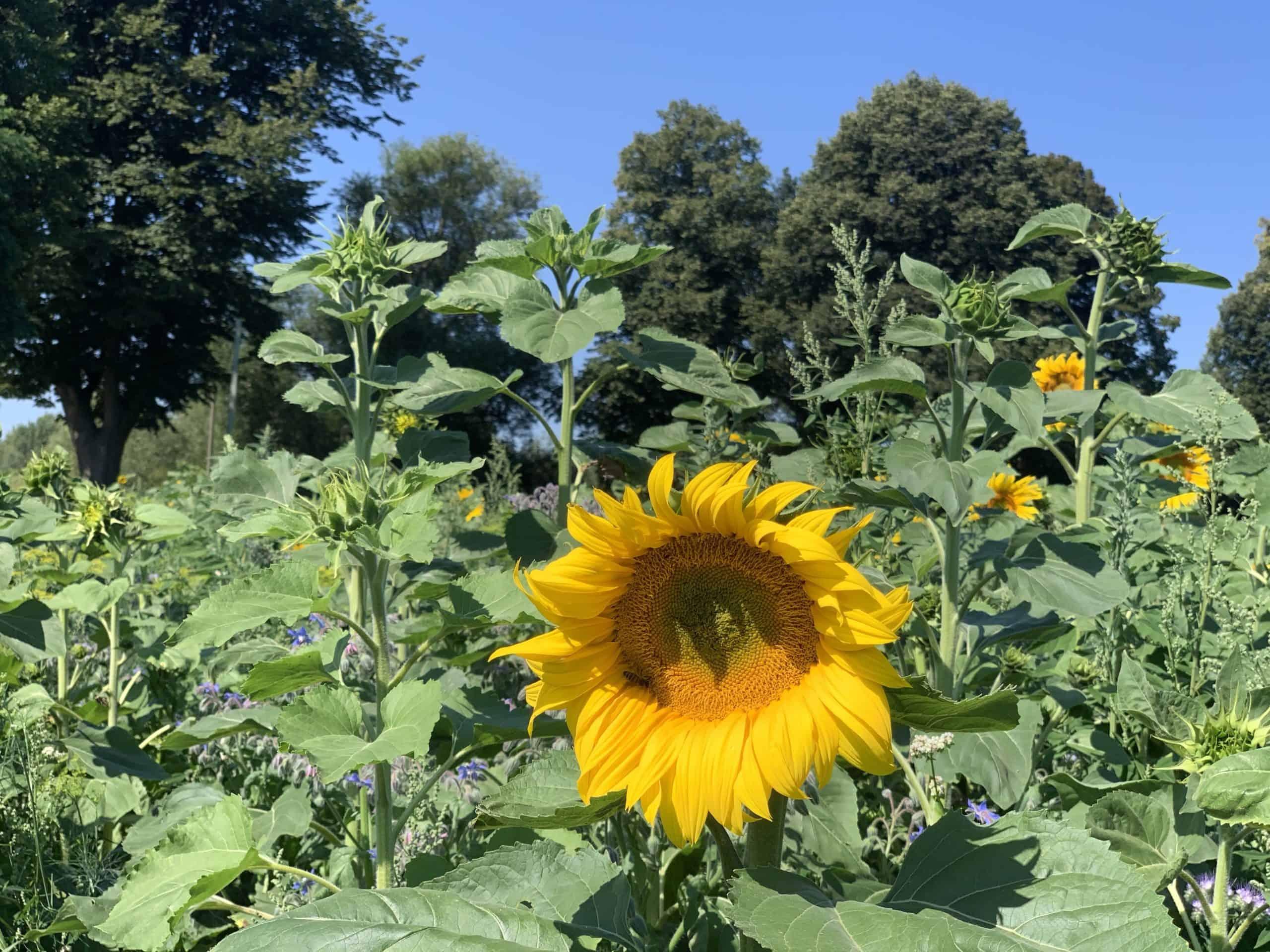 Sonnenblume Redder Straße 2020