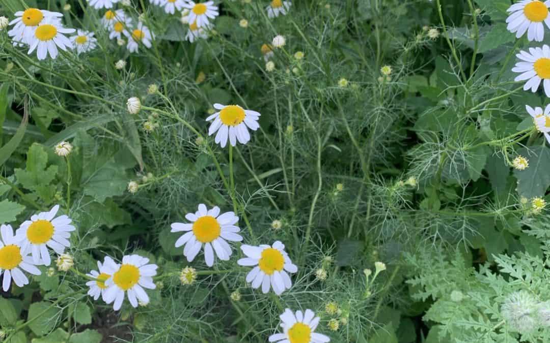 Was wächst auf unseren Blumenwiesen? Echte Kamille