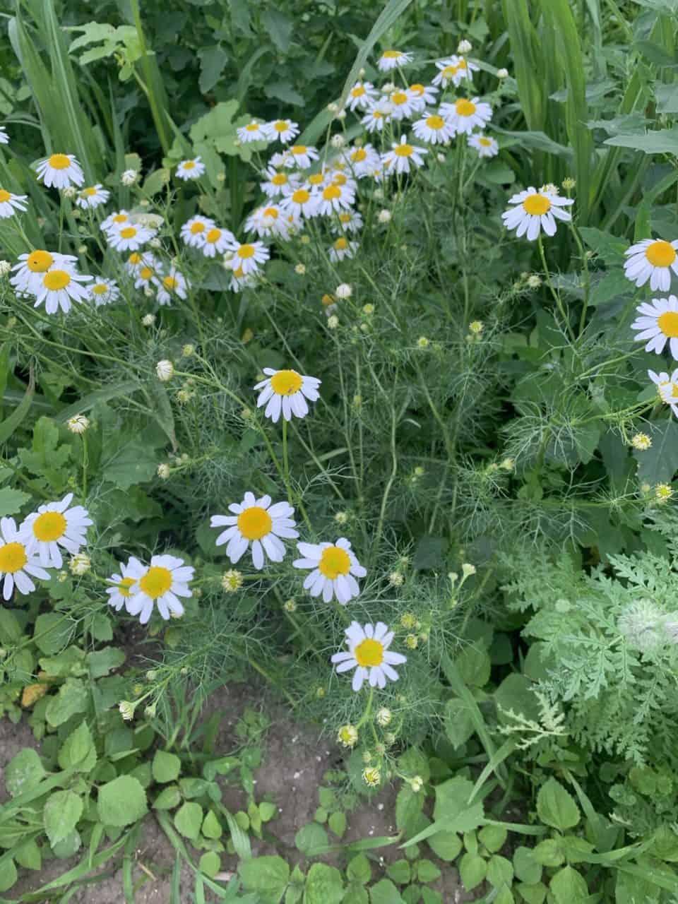 Was wächst auf unseren Blumenwiesen? Echte Kamille 1
