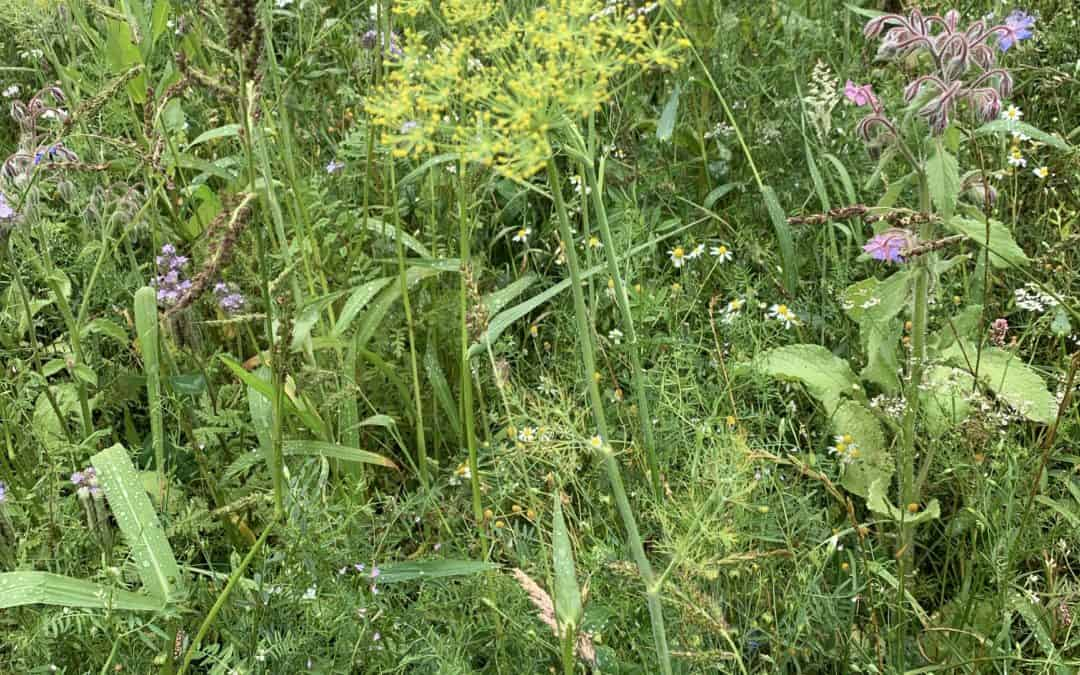 Was wächst auf unseren Blumenwiesen? Dill