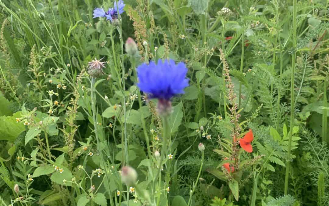 Was wächst auf unseren Blumenwiesen? Die Kornblume