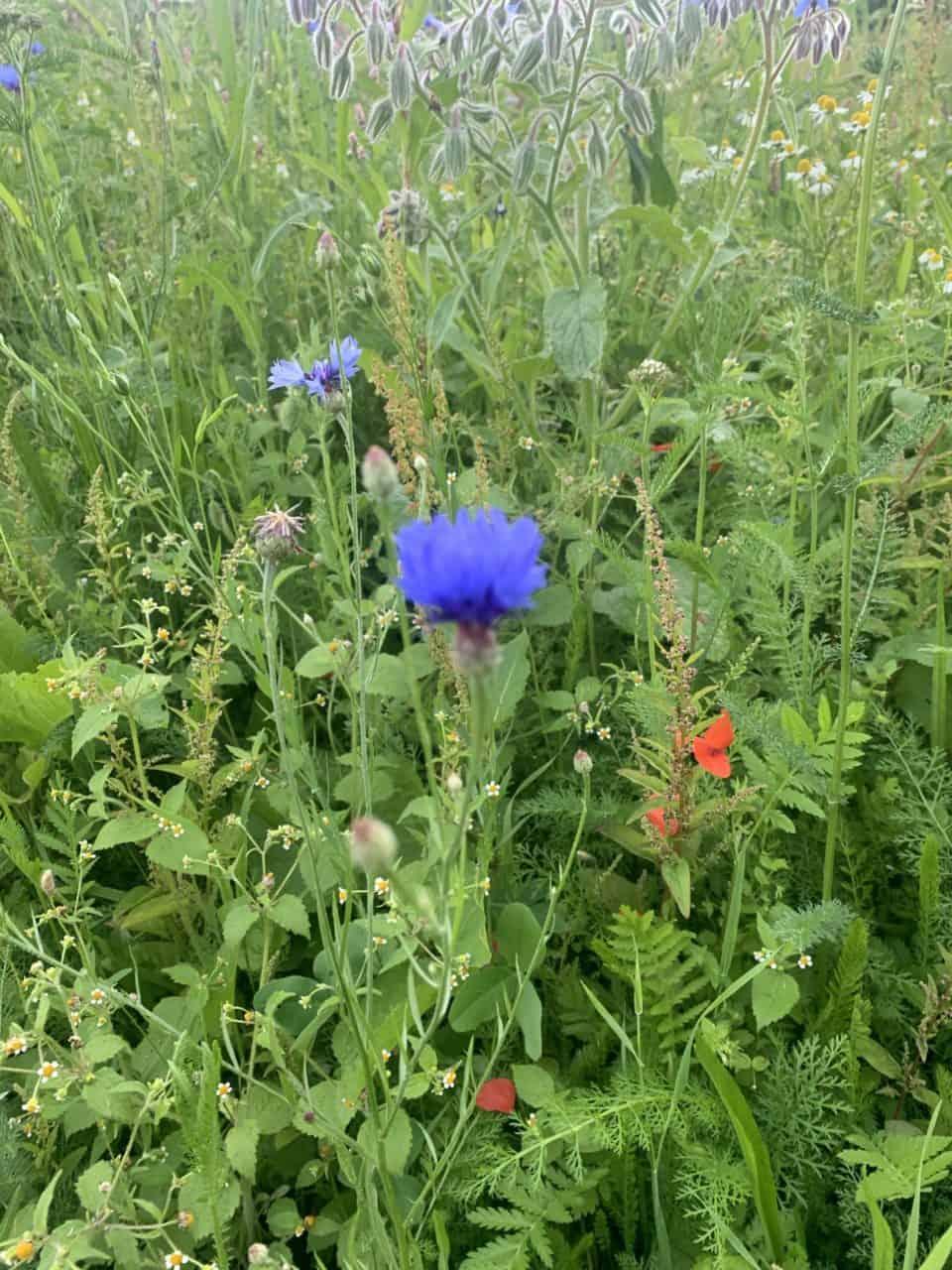Was wächst auf unseren Blumenwiesen? Die Kornblume 1