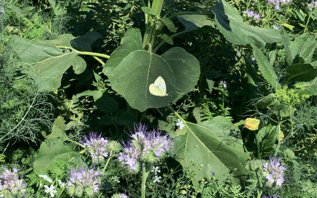 Was lebt auf unseren Blumenwiesen? Kleiner Kohlweißling