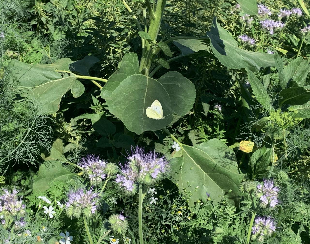 Was lebt auf unseren Blumenwiesen? Kleiner Kohlweißling 1