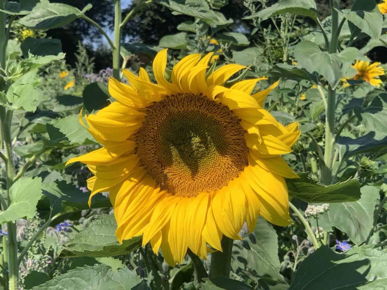 Was lebt auf unseren Blumenwiesen? Westliche Honigbiene 1