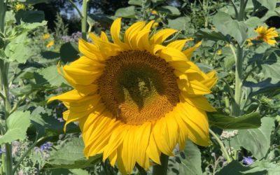 Was lebt auf unseren Blumenwiesen? Westliche Honigbiene