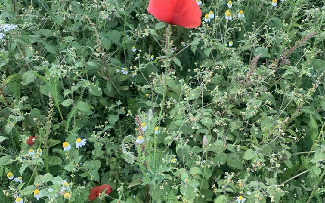 Was wächst auf unseren Blumenwiesen? Klatschmohn