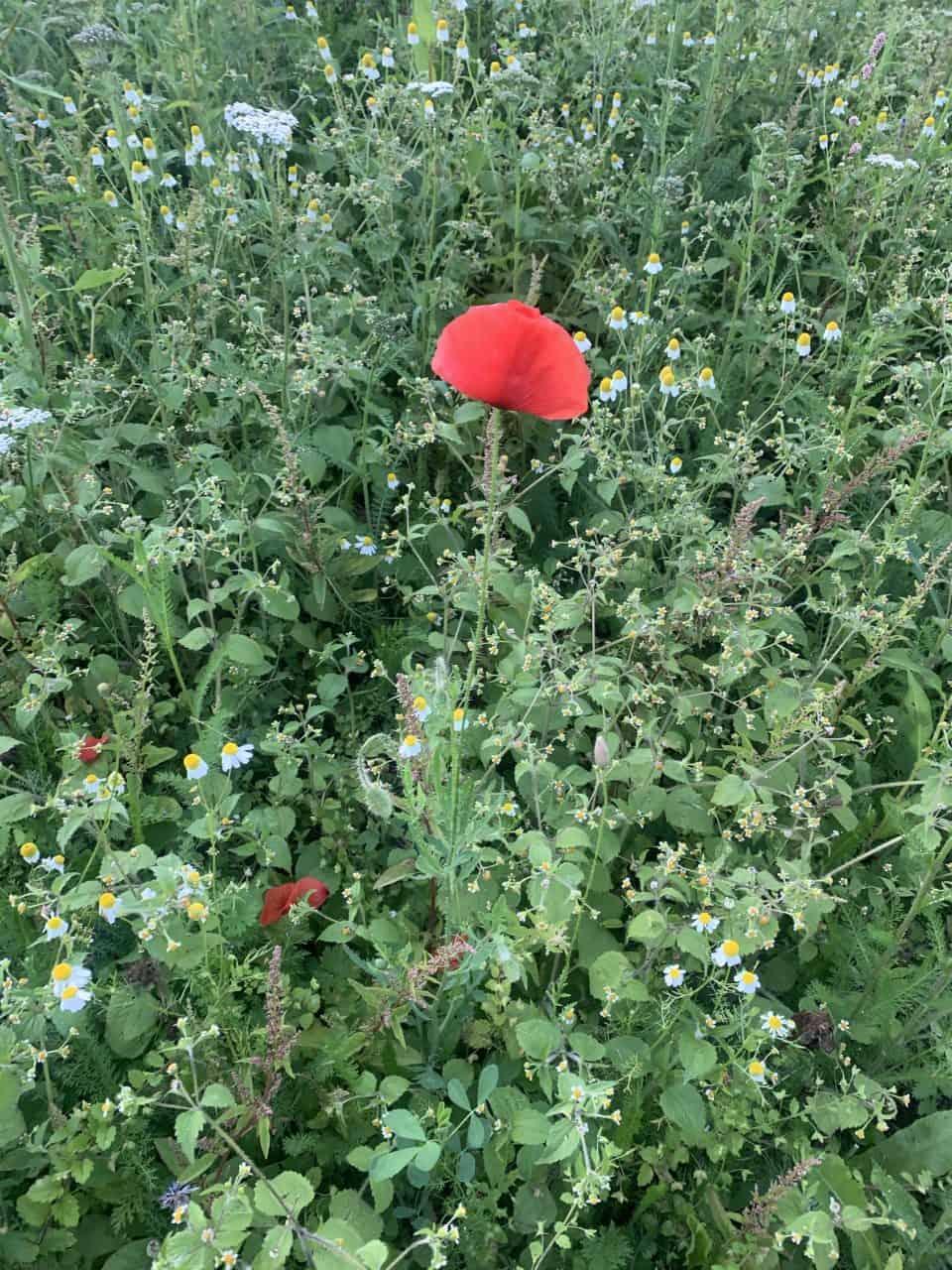 Was wächst auf unseren Blumenwiesen? Klatschmohn 1