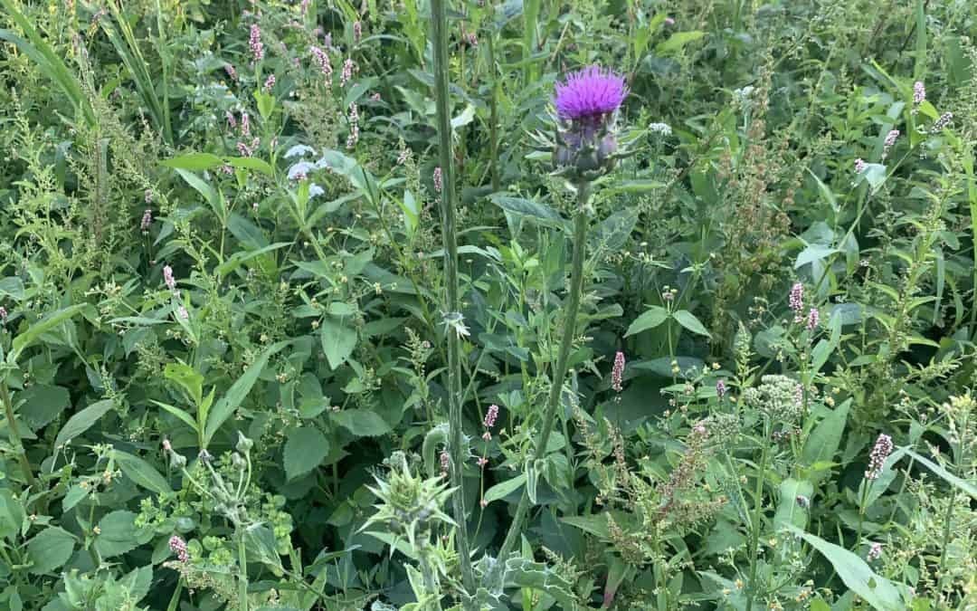 Was wächst auf unseren Blumenwiesen? Mariendiestel
